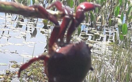Sorpresa por la aparición de cangrejos en la laguna de Mburucuyá